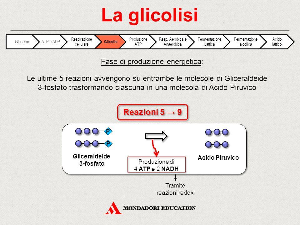 La glicolisi Reazioni 5 → 9 Fase di produzione energetica: