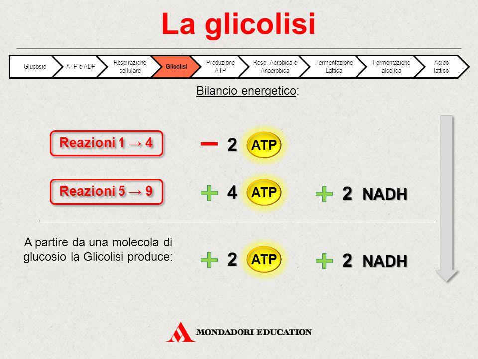 La glicolisi 2 4 2 NADH 2 2 NADH Reazioni 1 → 4 ATP Reazioni 5 → 9 ATP