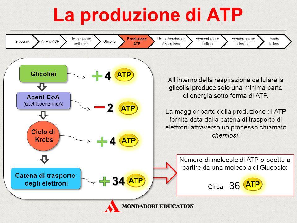 La produzione di ATP 4 2 4 34 ATP ATP ATP ATP ATP Glicolisi