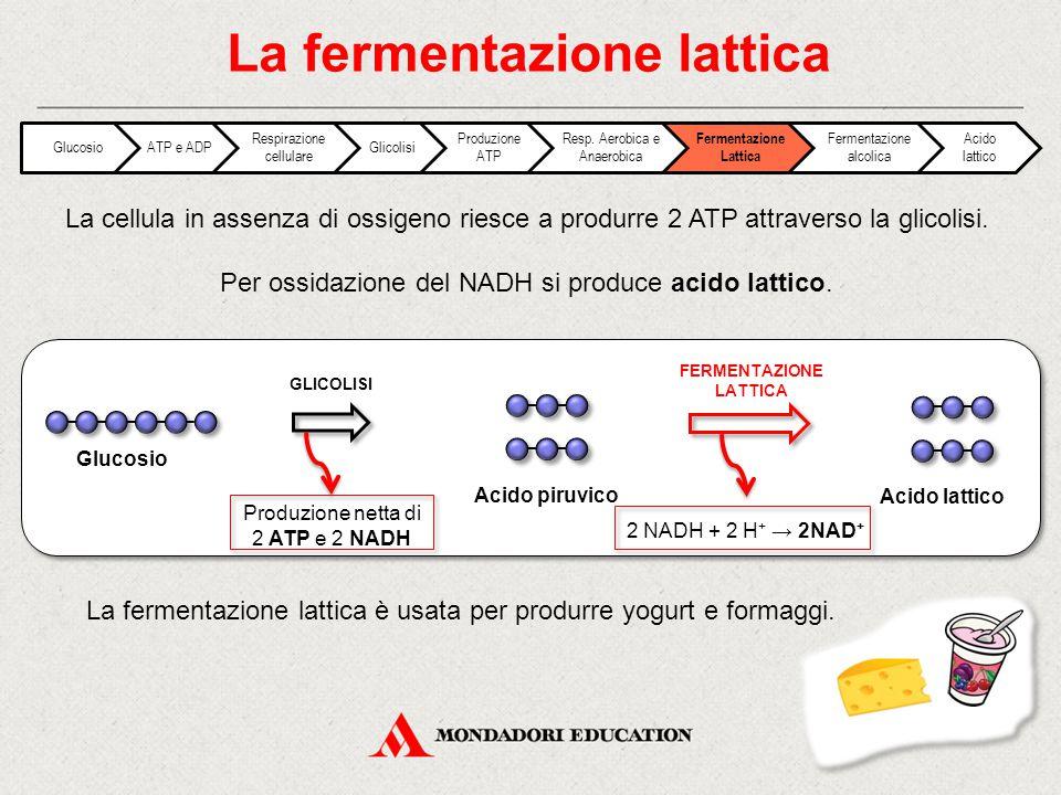 La fermentazione lattica