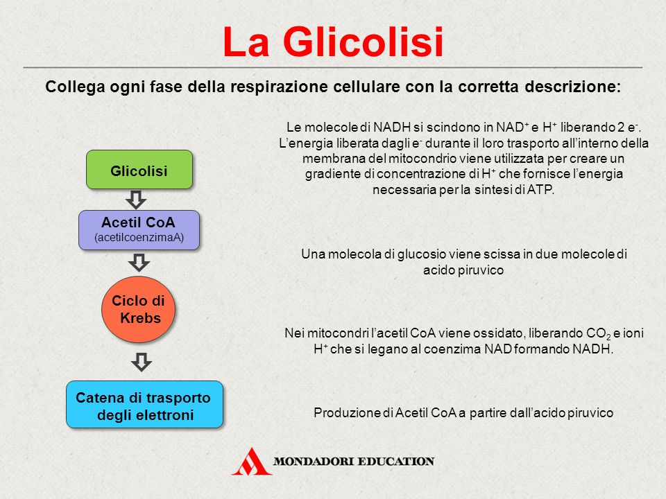 La Glicolisi Collega ogni fase della respirazione cellulare con la corretta descrizione: