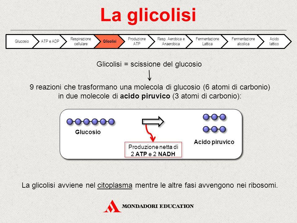 La glicolisi Glicolisi = scissione del glucosio