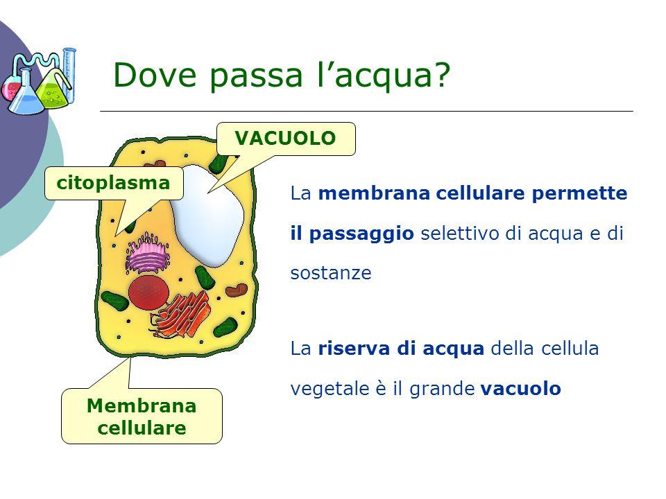 Dove passa l'acqua VACUOLO citoplasma