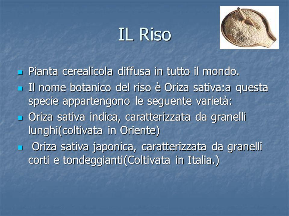 IL Riso Pianta cerealicola diffusa in tutto il mondo.