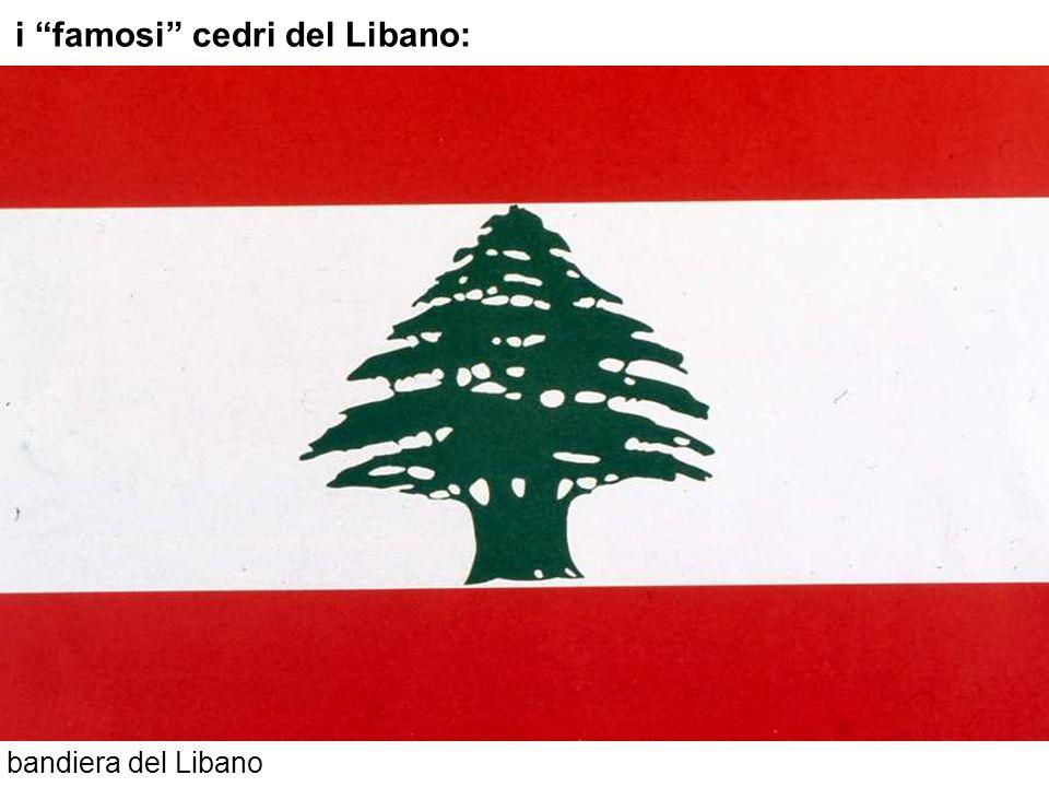 i famosi cedri del Libano: