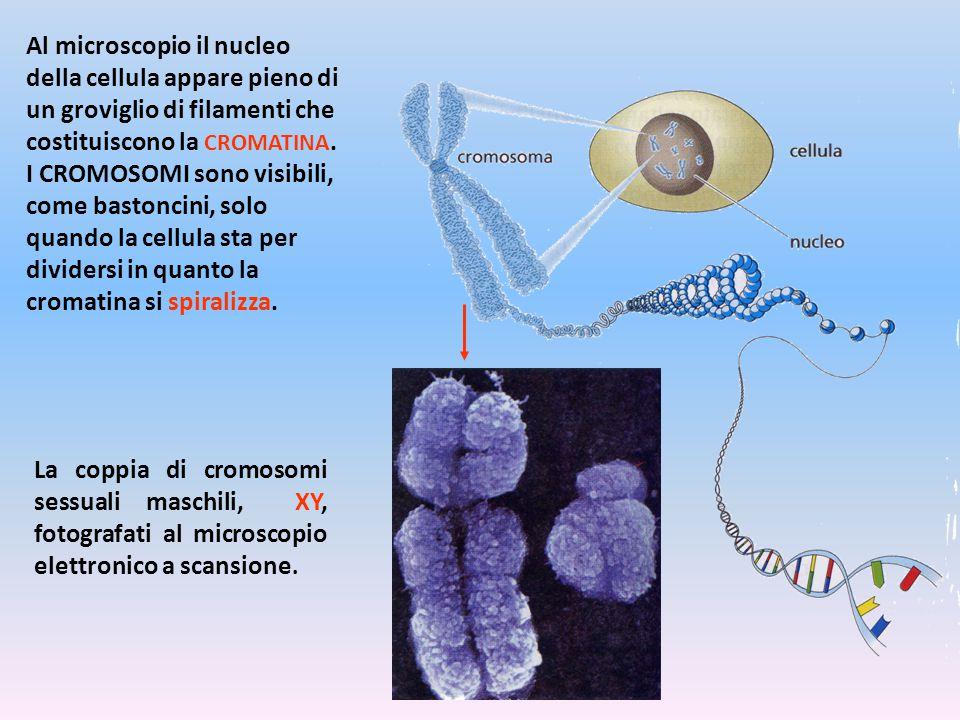 Al microscopio il nucleo della cellula appare pieno di un groviglio di filamenti che costituiscono la CROMATINA. I CROMOSOMI sono visibili, come bastoncini, solo quando la cellula sta per dividersi in quanto la cromatina si spiralizza.