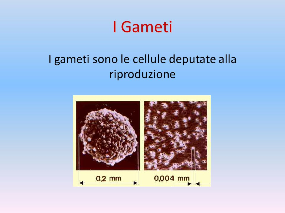 I gameti sono le cellule deputate alla riproduzione