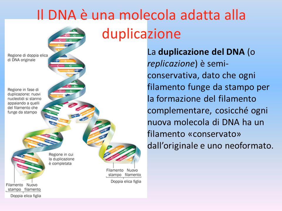 Il DNA è una molecola adatta alla duplicazione