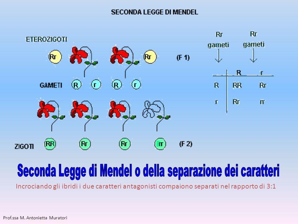 Seconda Legge di Mendel o della separazione dei caratteri