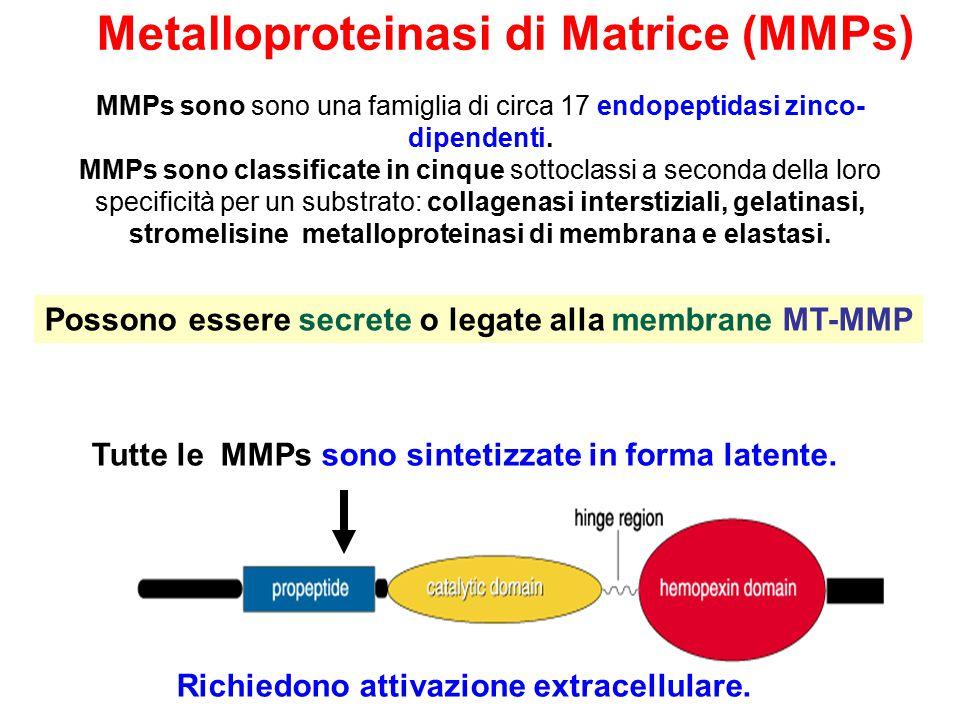 Metalloproteinasi di Matrice (MMPs)