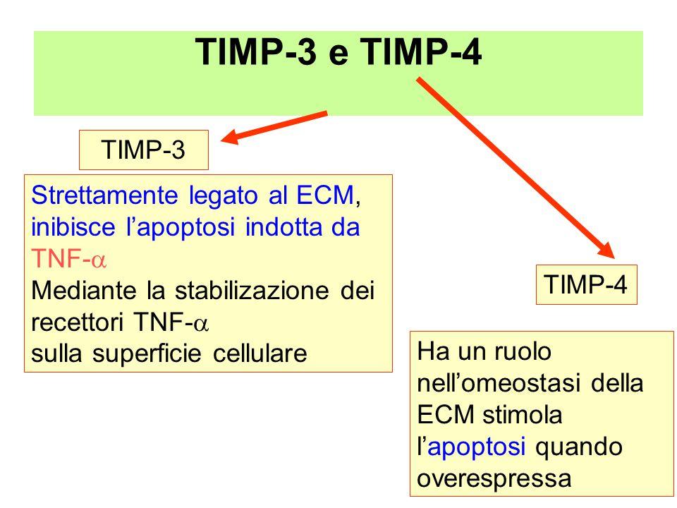 TIMP-3 e TIMP-4 TIMP-3 Strettamente legato al ECM,