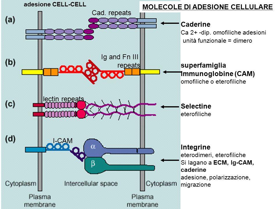 MOLECOLE DI ADESIONE CELLULARE Cad. repeats