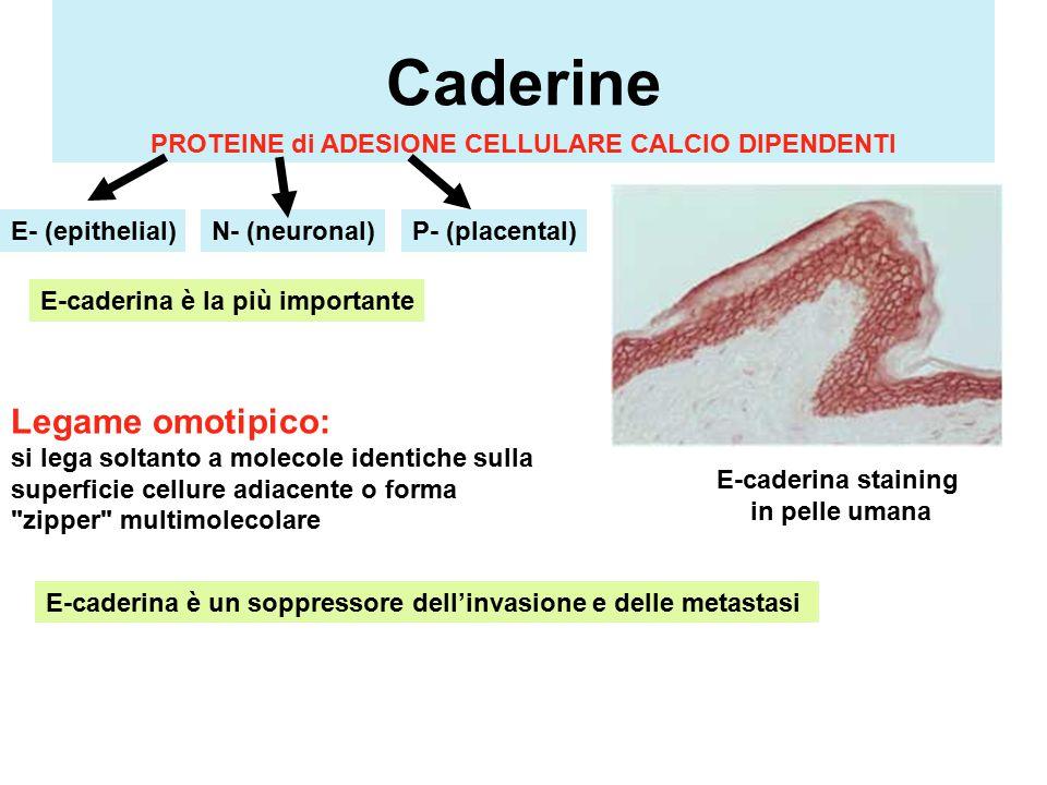 Caderine Legame omotipico: