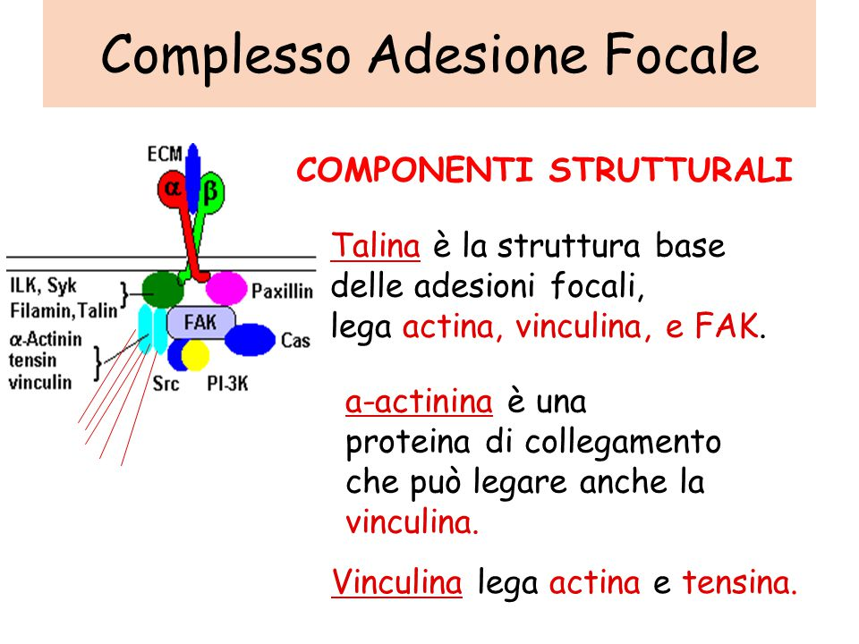 Complesso Adesione Focale