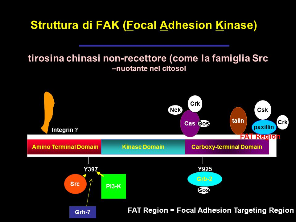 Struttura di FAK (Focal Adhesion Kinase)