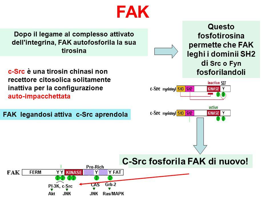 FAK C-Src fosforila FAK di nuovo!