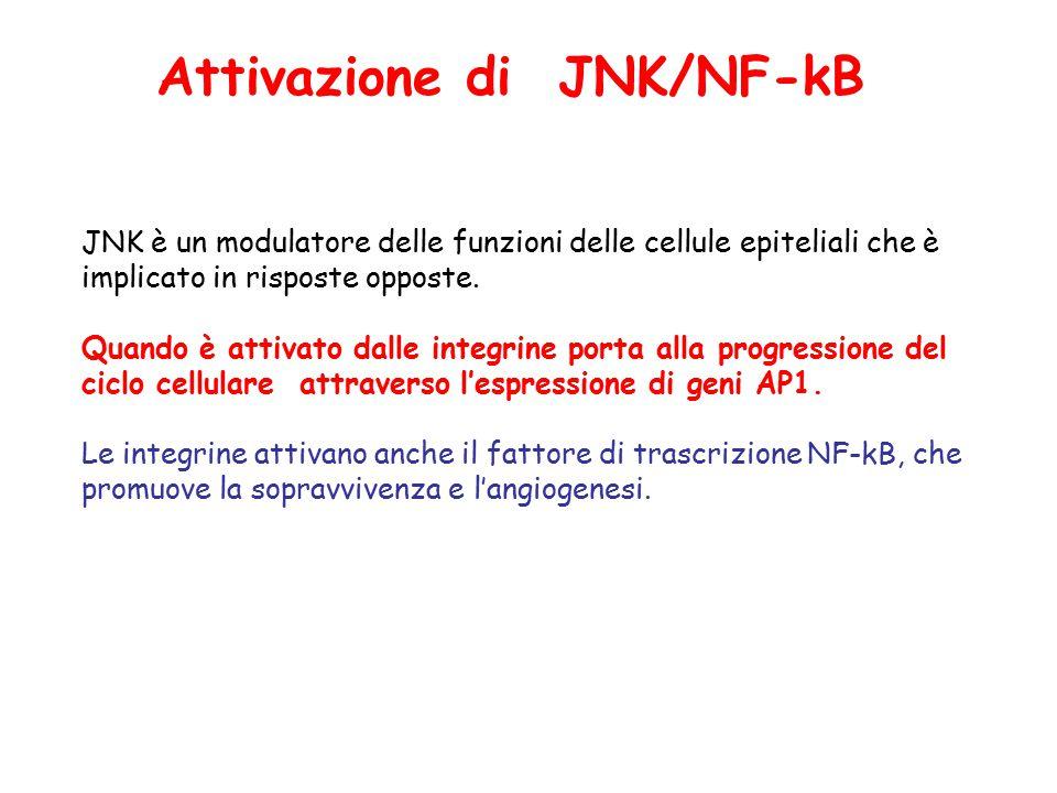 Attivazione di JNK/NF-kB