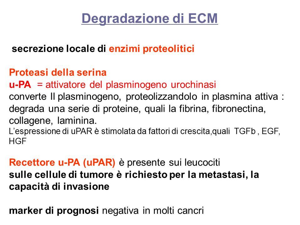 Degradazione di ECM secrezione locale di enzimi proteolitici