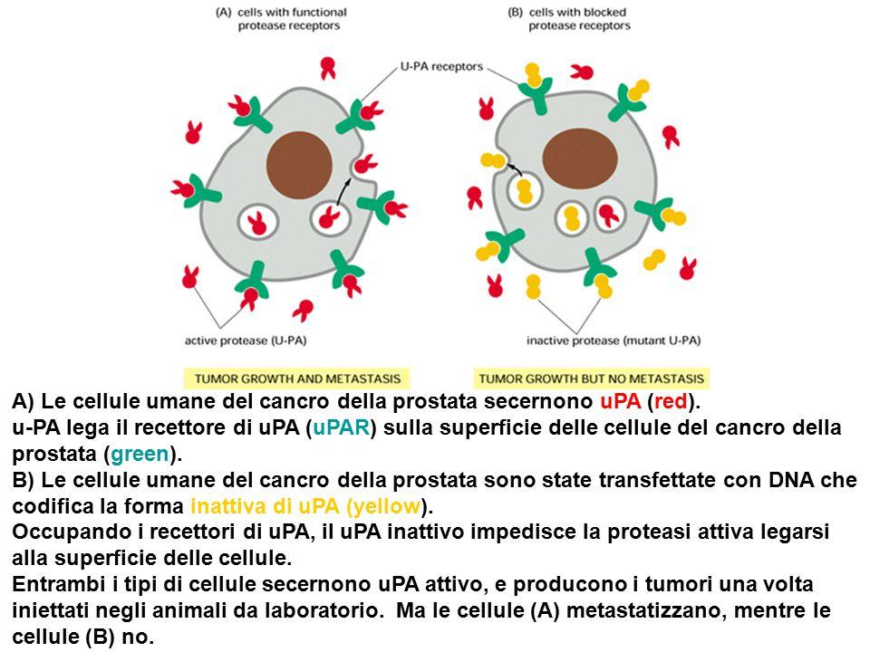 A) Le cellule umane del cancro della prostata secernono uPA (red).