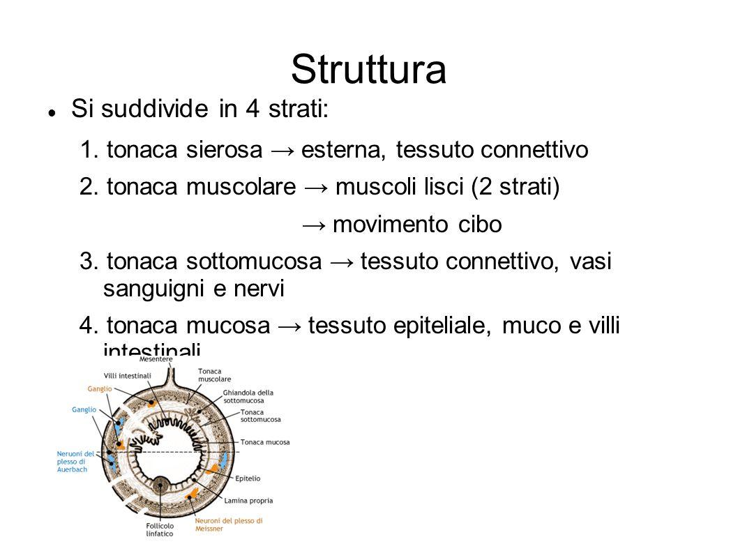 Struttura Si suddivide in 4 strati: