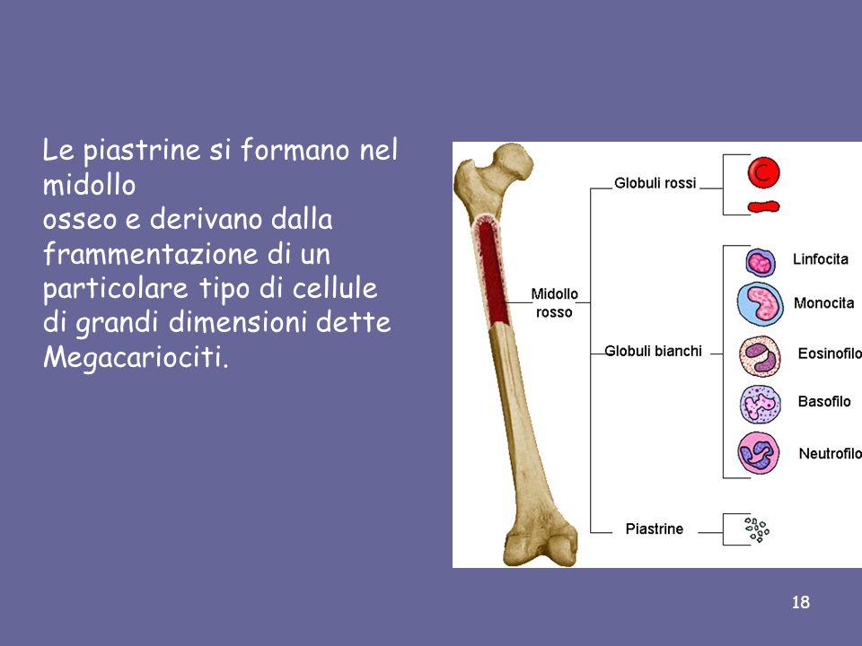 Le piastrine si formano nel midollo osseo e derivano dalla frammentazione di un particolare tipo di cellule di grandi dimensioni dette Megacariociti.