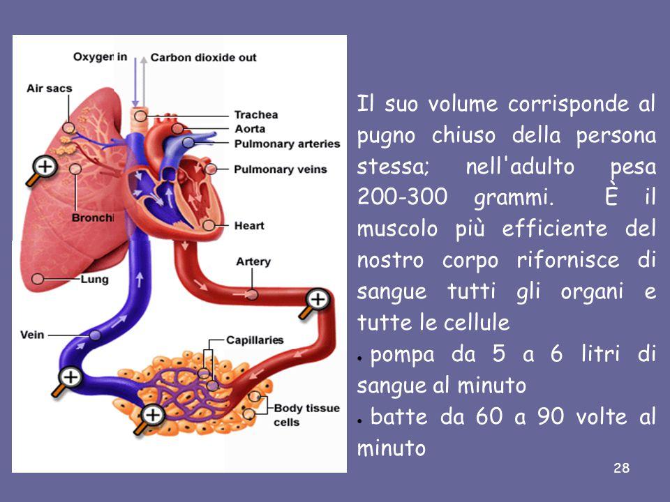 Il suo volume corrisponde al pugno chiuso della persona stessa; nell adulto pesa 200-300 grammi. È il muscolo più efficiente del nostro corpo rifornisce di sangue tutti gli organi e tutte le cellule