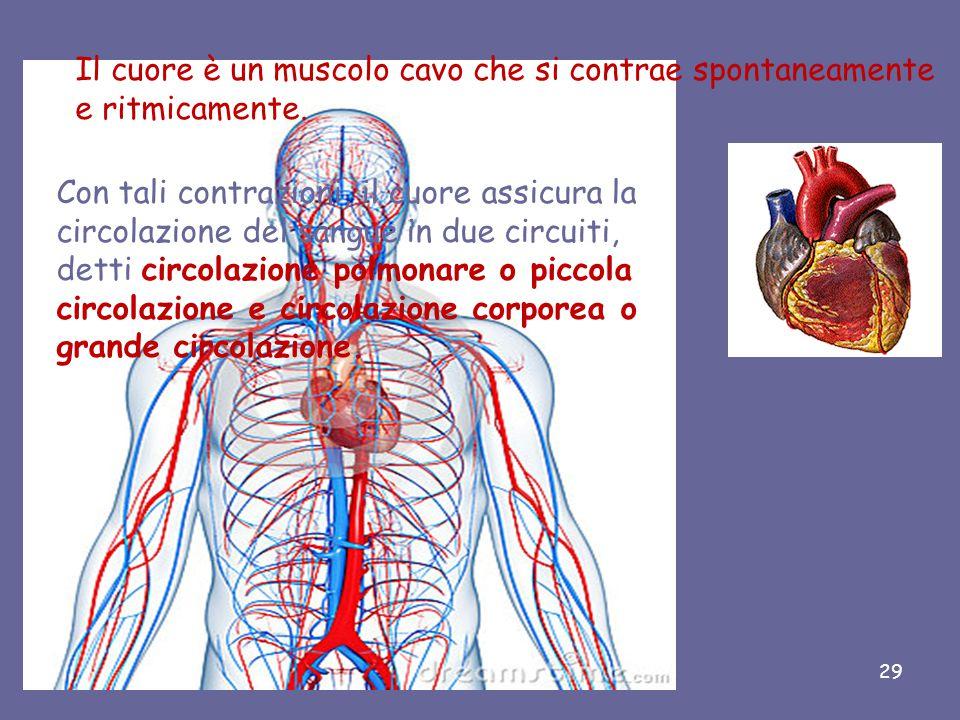 Il cuore è un muscolo cavo che si contrae spontaneamente e ritmicamente.