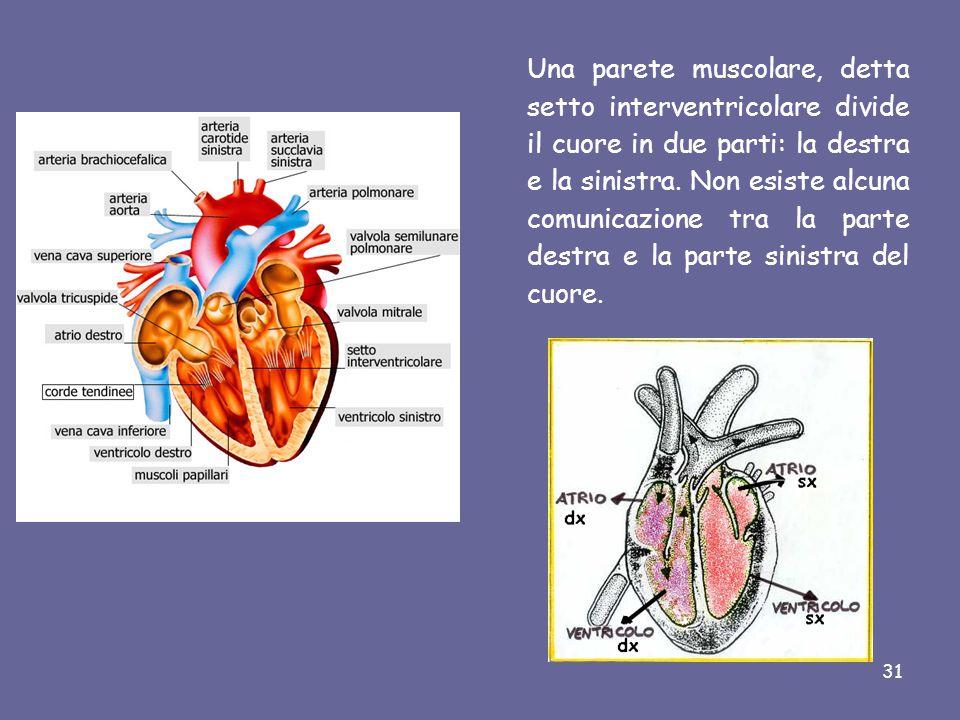Una parete muscolare, detta setto interventricolare divide il cuore in due parti: la destra e la sinistra.
