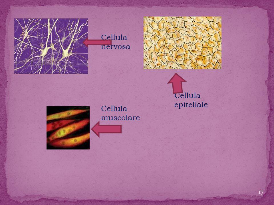 Cellula nervosa Cellula epiteliale Cellula muscolare
