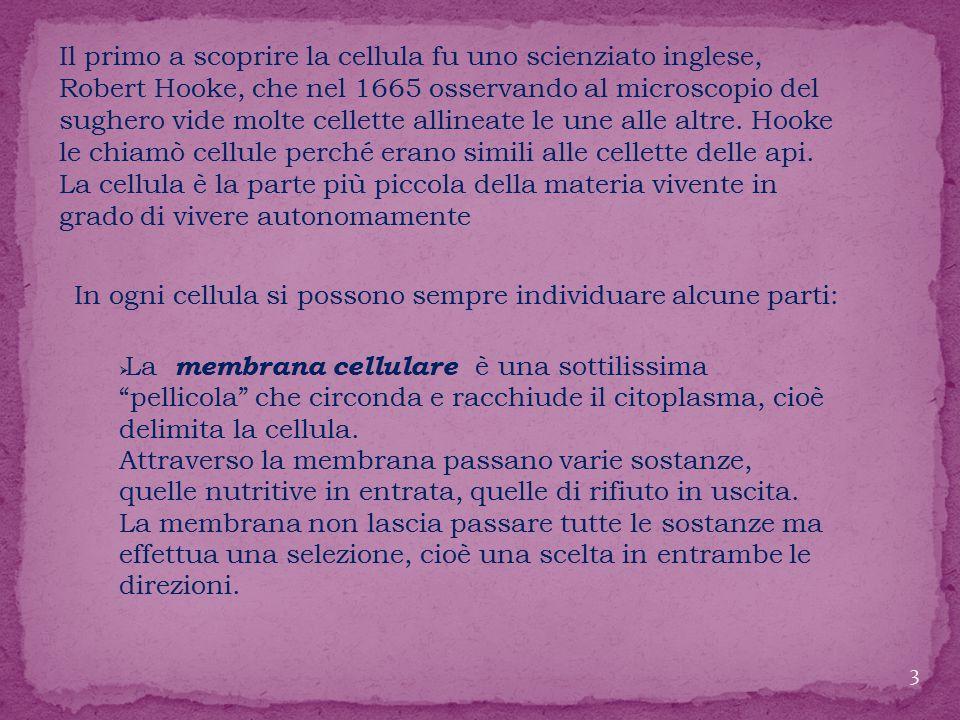 Il primo a scoprire la cellula fu uno scienziato inglese, Robert Hooke, che nel 1665 osservando al microscopio del sughero vide molte cellette allineate le une alle altre. Hooke le chiamò cellule perché erano simili alle cellette delle api.