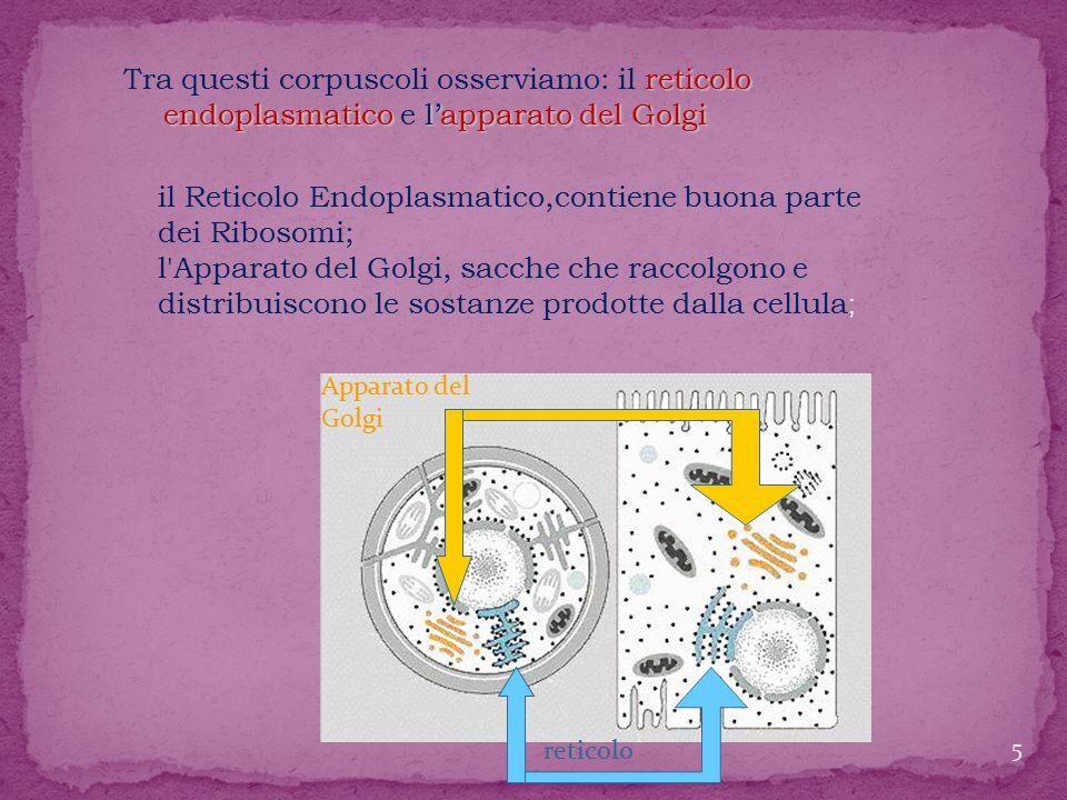 il Reticolo Endoplasmatico,contiene buona parte dei Ribosomi;