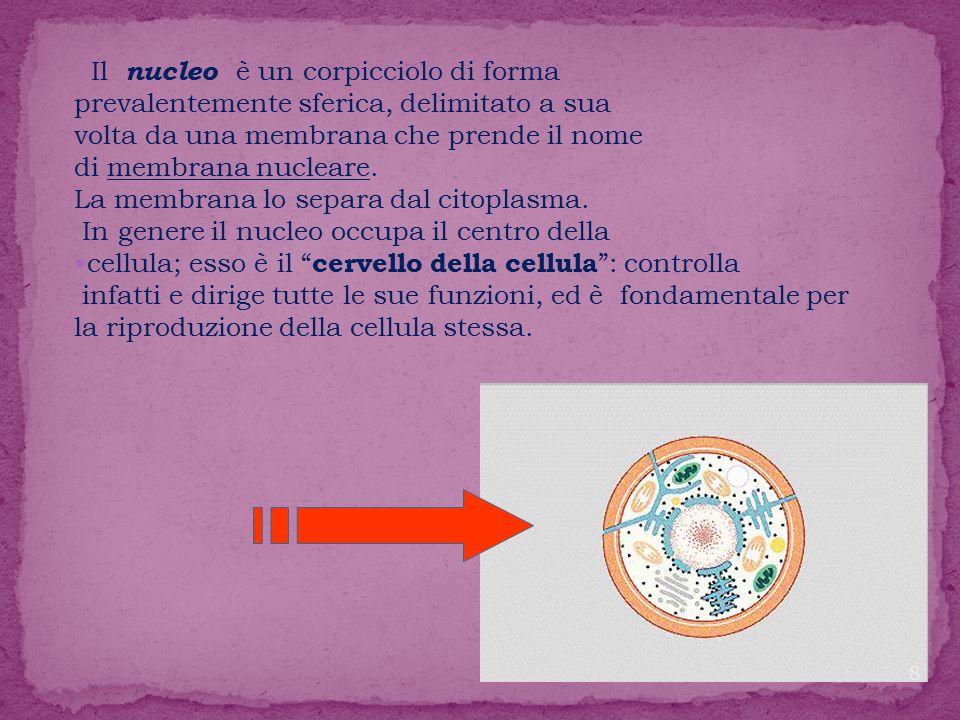 Il nucleo è un corpicciolo di forma
