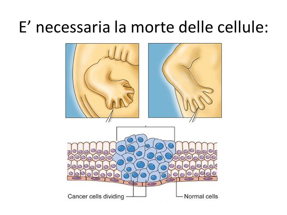 E' necessaria la morte delle cellule: