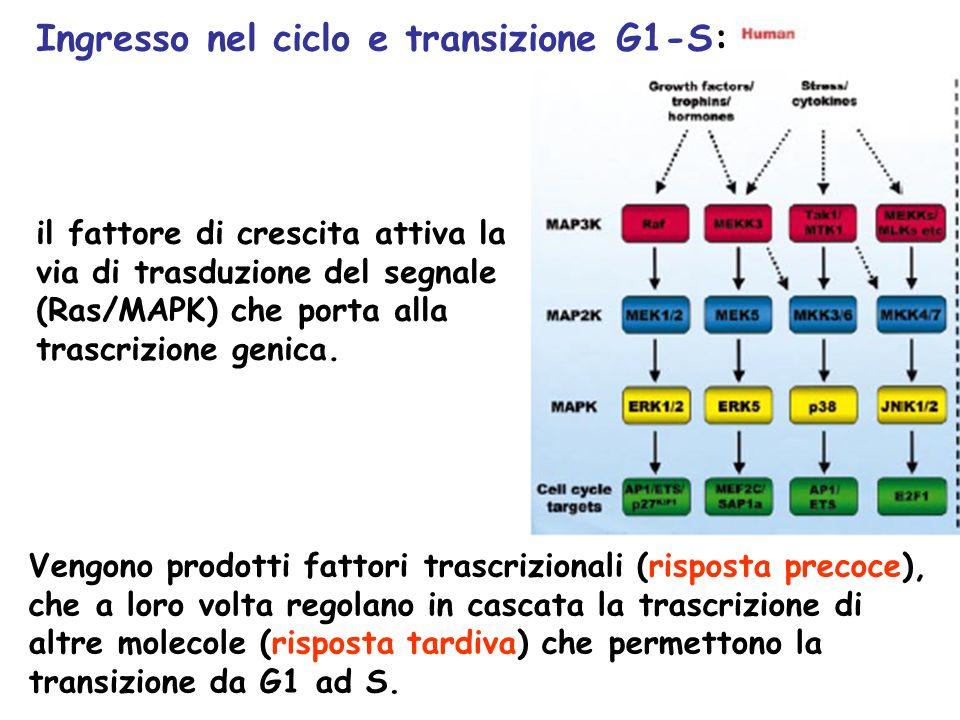 Ingresso nel ciclo e transizione G1-S: