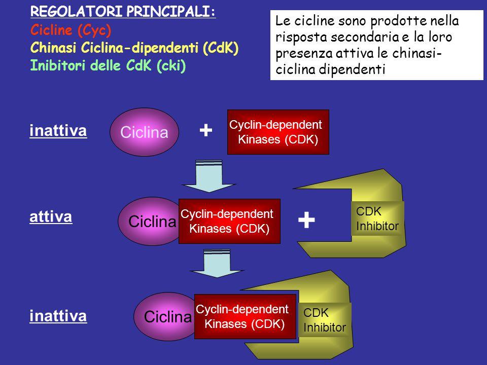 + + Ciclina inattiva attiva Ciclina Ciclina inattiva