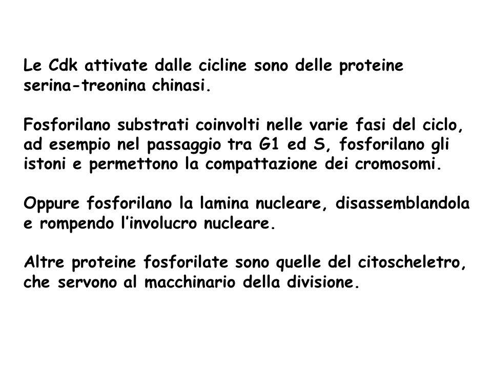 Le Cdk attivate dalle cicline sono delle proteine