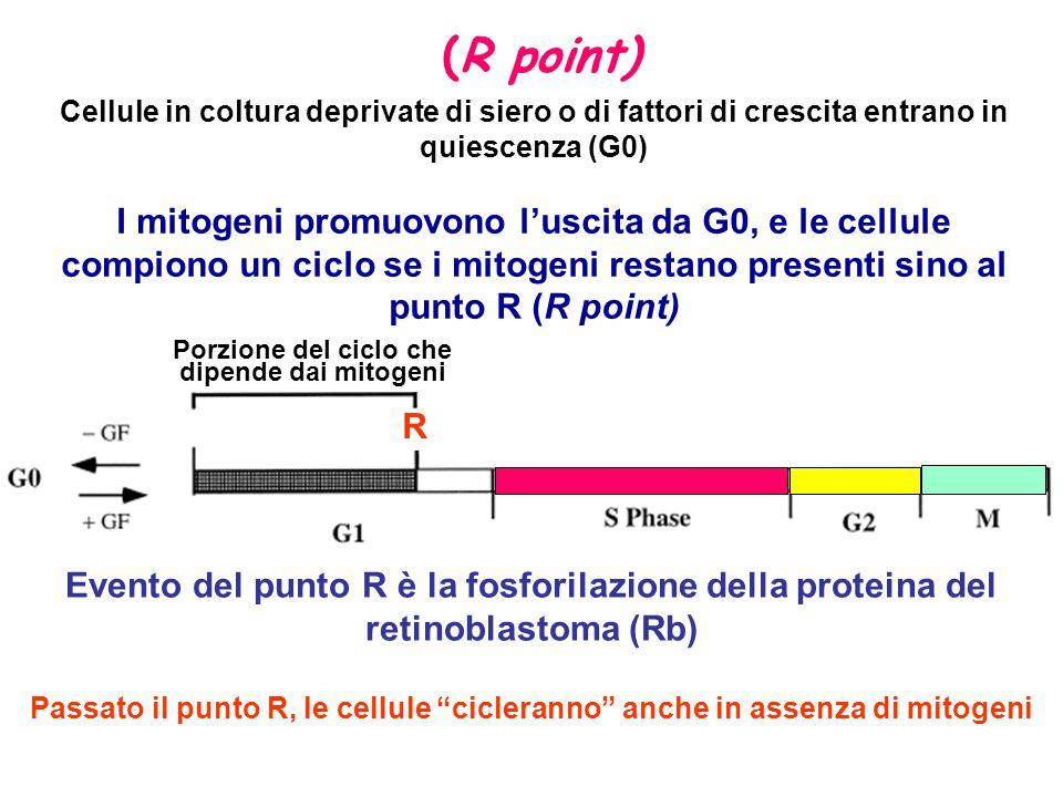 Porzione del ciclo che dipende dai mitogeni