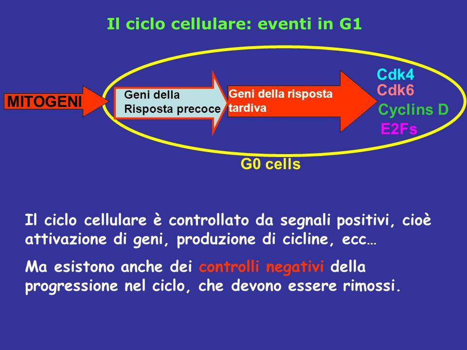 Il ciclo cellulare: eventi in G1