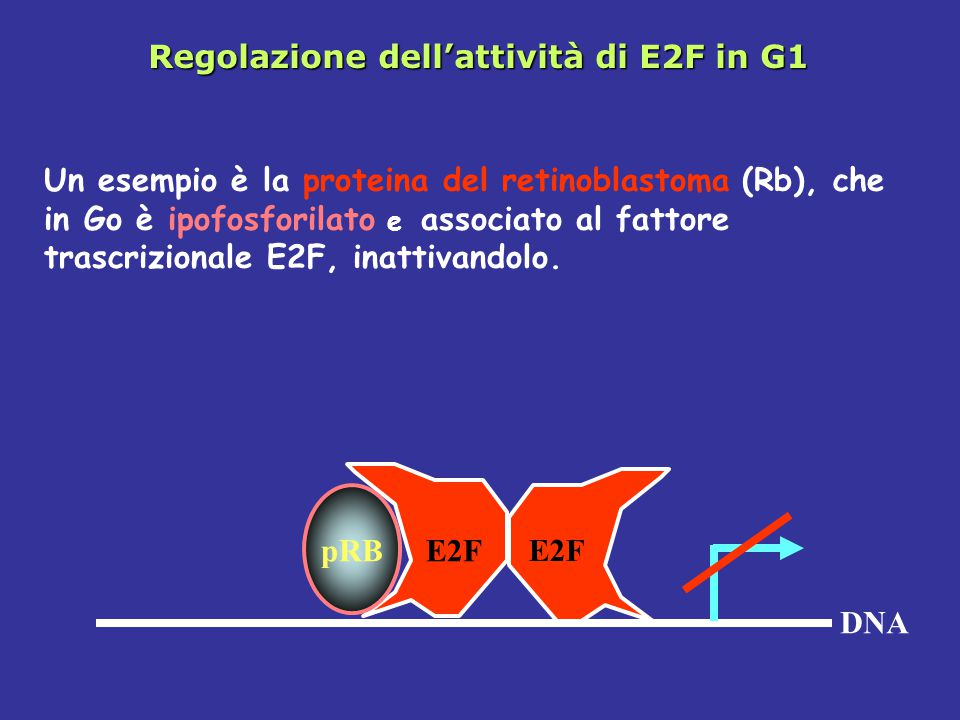 Regolazione dell'attività di E2F in G1