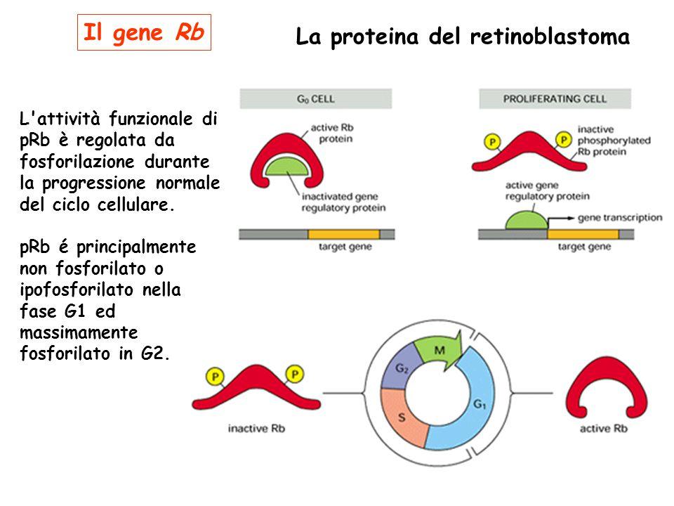 Il gene Rb La proteina del retinoblastoma