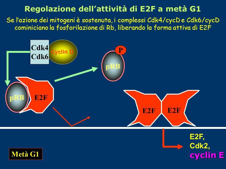 Regolazione dell'attività di E2F a metà G1