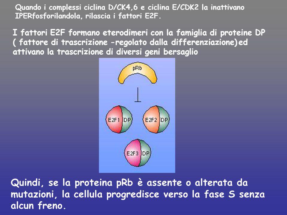 Quando i complessi ciclina D/CK4,6 e ciclina E/CDK2 la inattivano IPERfosforilandola, rilascia i fattori E2F.