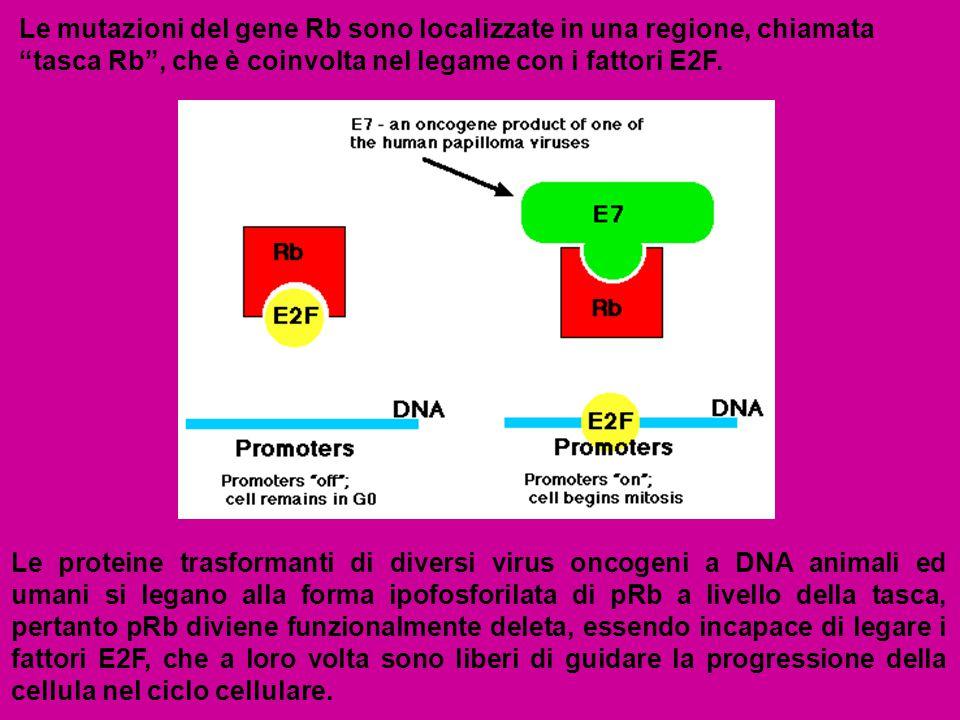Le mutazioni del gene Rb sono localizzate in una regione, chiamata tasca Rb , che è coinvolta nel legame con i fattori E2F.