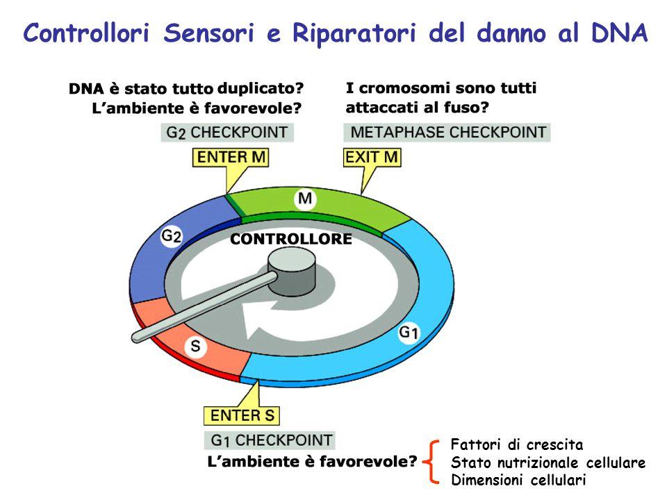 Controllori Sensori e Riparatori del danno al DNA