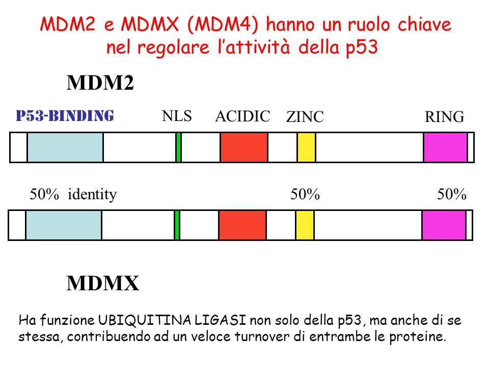 MDM2 e MDMX (MDM4) hanno un ruolo chiave nel regolare l'attività della p53