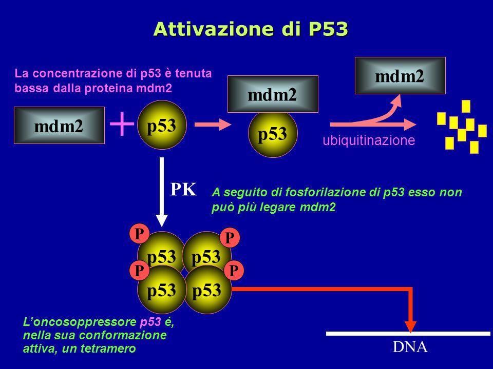 + Attivazione di P53 mdm2 p53 PK p53 p53 P P DNA ubiquitinazione