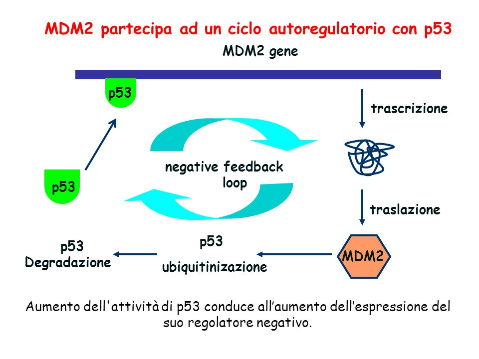 MDM2 partecipa ad un ciclo autoregulatorio con p53