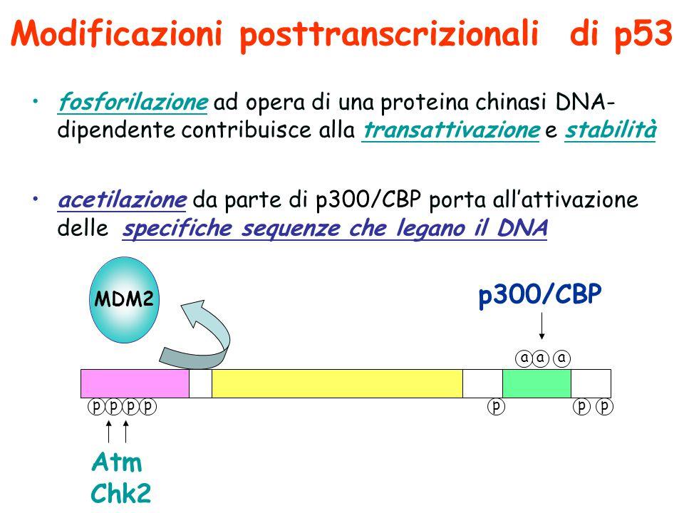 Modificazioni posttranscrizionali di p53