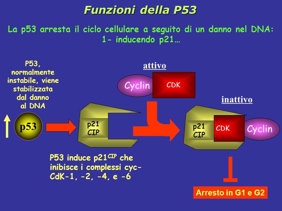 La p53 arresta il ciclo cellulare a seguito di un danno nel DNA: