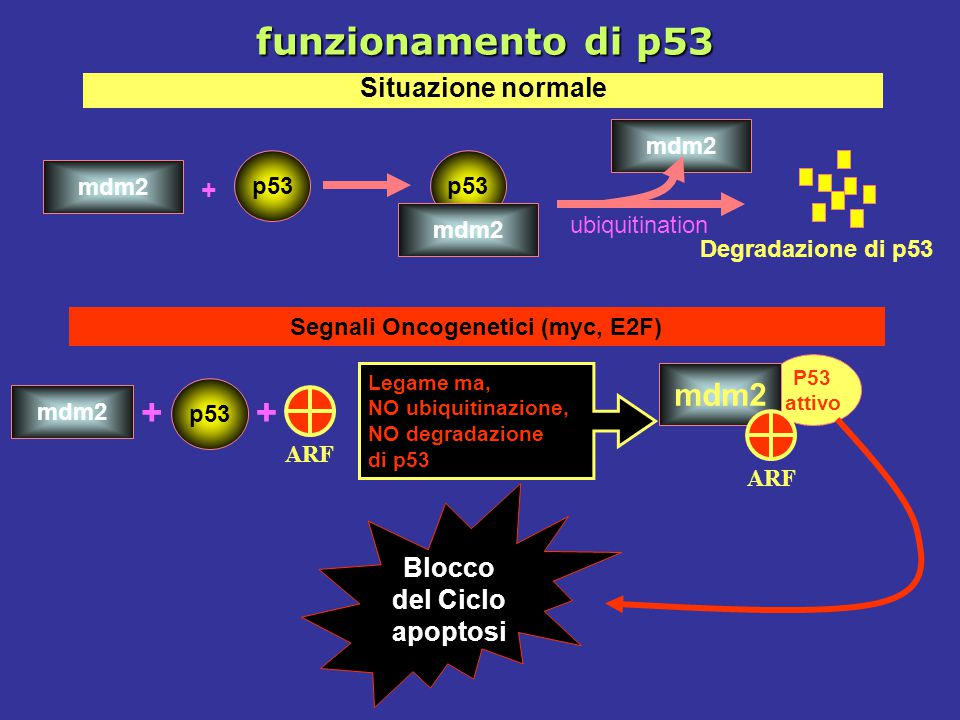 Segnali Oncogenetici (myc, E2F)